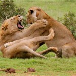 Lions at Addo